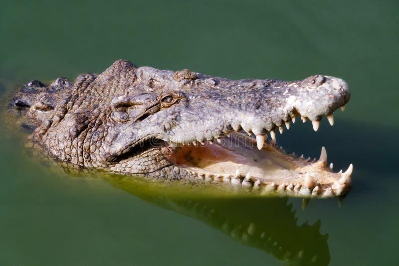 Hoofd van krokodil met open mond stock afbeelding
