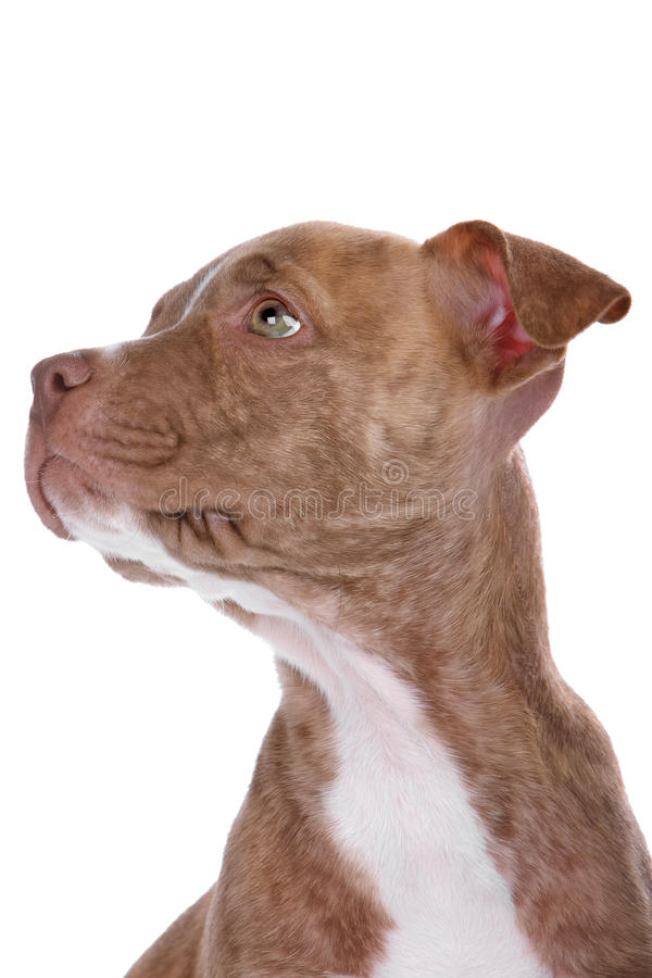 Hoofd van rode neus pitbull pupp royalty-vrije stock fotografie