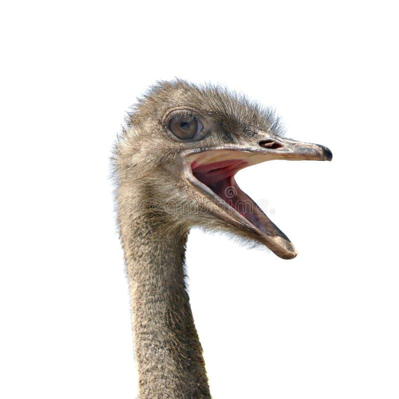 Hoofd van struisvogel royalty-vrije stock fotografie