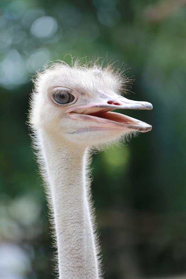 Hoofd van struisvogel stock foto