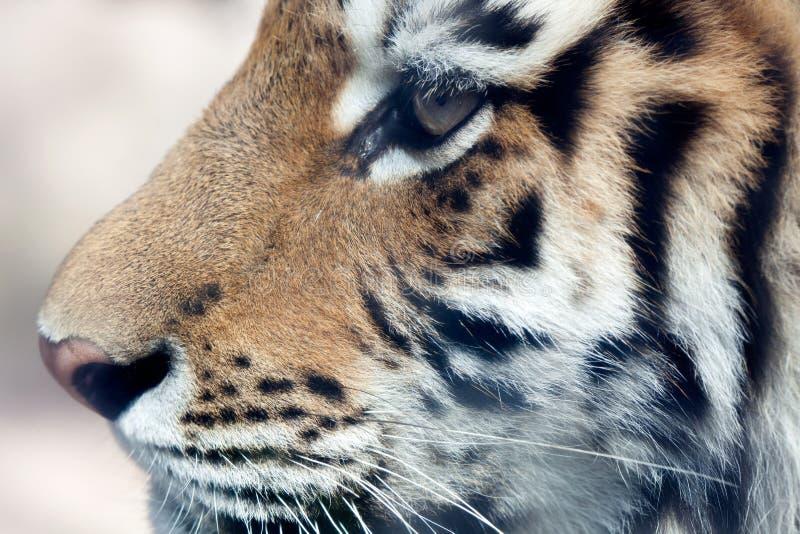 Hoofd van tijger royalty-vrije stock fotografie