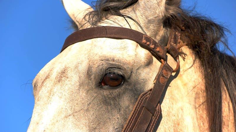 Hoofd van wit paard stock afbeeldingen