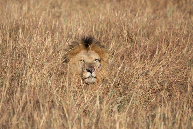 Hoofd van Zandrivier of Elawana-Trots mannelijke leeuw, Panthera-leo, die uit lang gras van Masai Mara in Kenia te voorschijn kom stock afbeelding