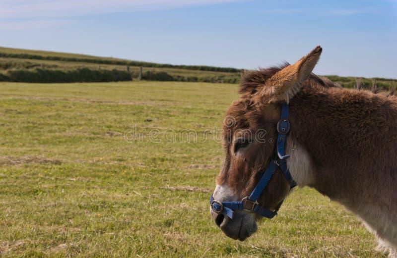Hoofdclose-up van een ezel op het gebied stock afbeeldingen