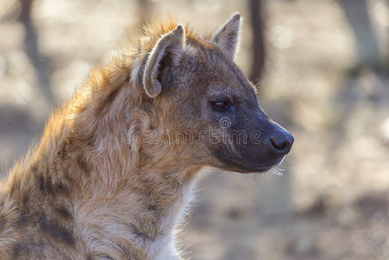 Hoofddetail van een Afrikaanse bevlekte hyena stock afbeelding