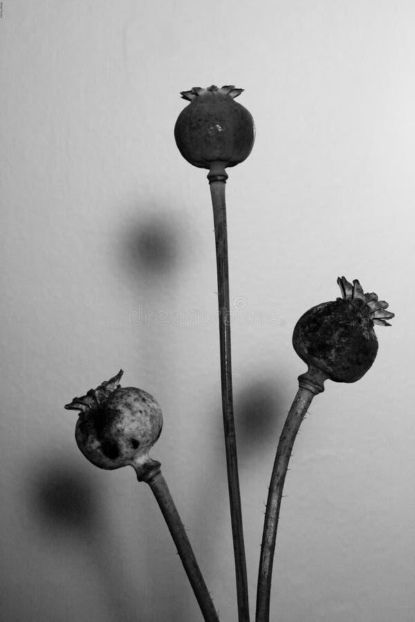 3 hoofden van het papaverzaad stock afbeeldingen