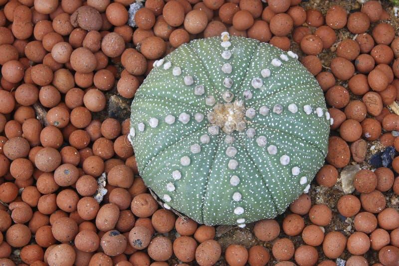 Hoofdkussencactus royalty-vrije stock afbeeldingen