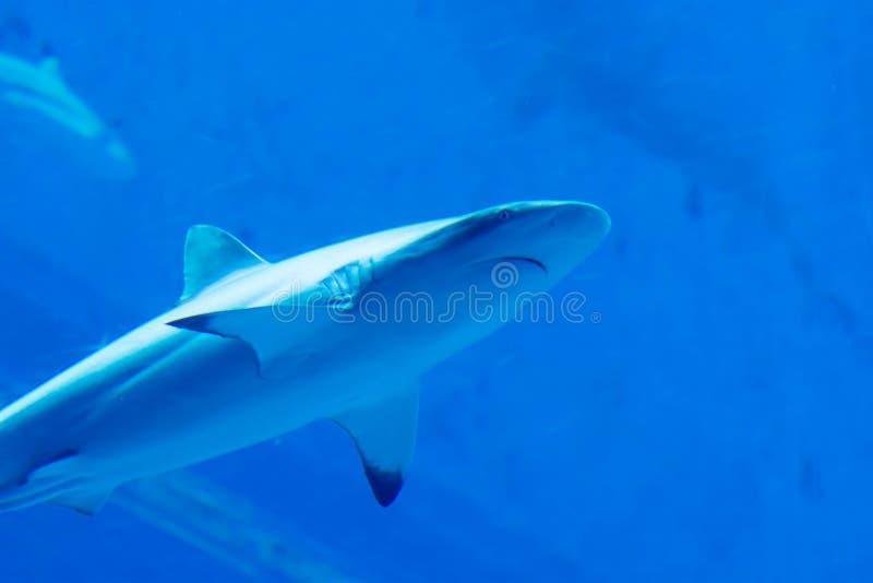 Hoofdnadruk dicht omhoog geschoten van Sandbar de Haaien van Silvertip in blauw w royalty-vrije stock fotografie