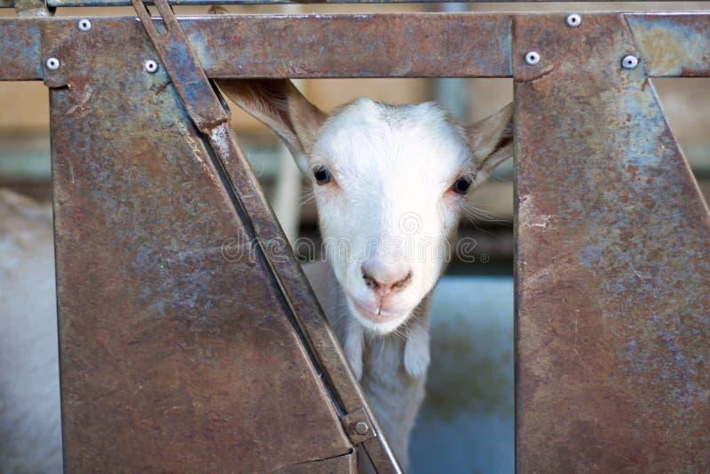 Hoofdportret van geit die door een metaalomheining kijken royalty-vrije stock foto
