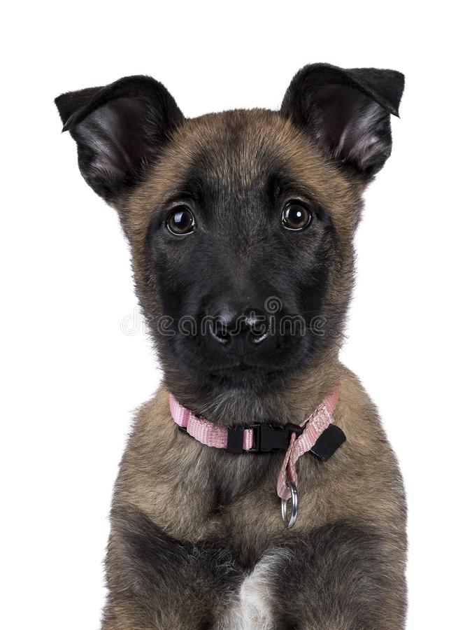 Hoofdschot van Belgisch herdershond/puppy die in camera geïsoleerd op witte achtergrond kijken royalty-vrije stock afbeelding