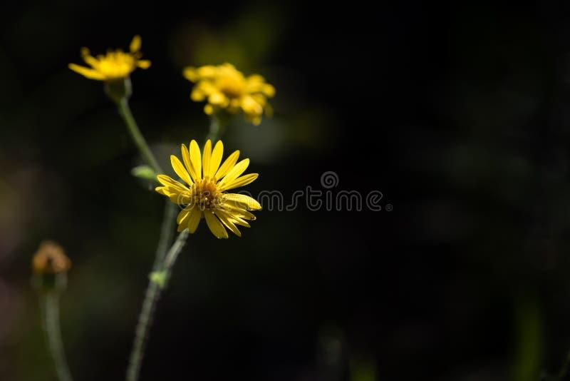 Hoog Contrastclose-up van Uiterst kleine Gele Wildflowers stock afbeeldingen