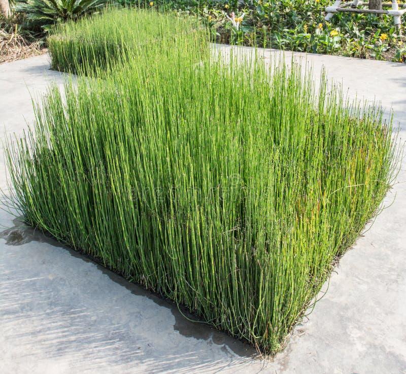 Hoog groen gras zegge stock afbeeldingen