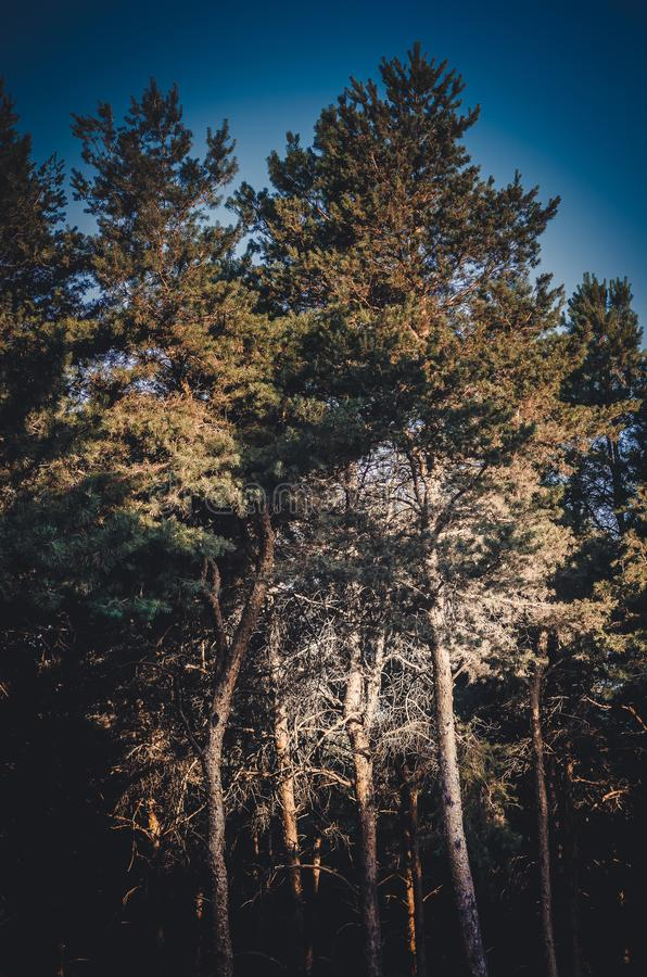 Hoog pijnboomschip in de zon tegen de hemel De gebogen gebogen boomboomstammen nemen van de grond toe tot de blauwe de zomerhemel stock foto's
