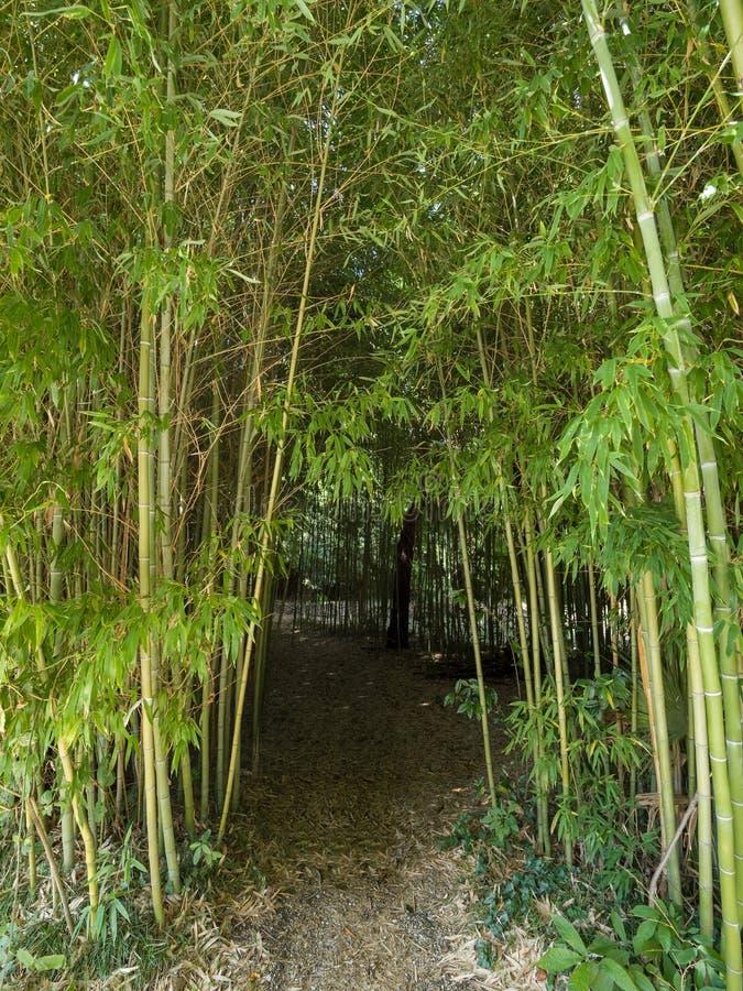 Hoog struikgewas van bamboe in het bos stock fotografie