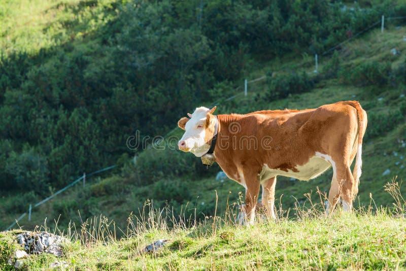 Hooglanden Alpien weiland met verse gras en Hereford-rassenkoe stock afbeelding