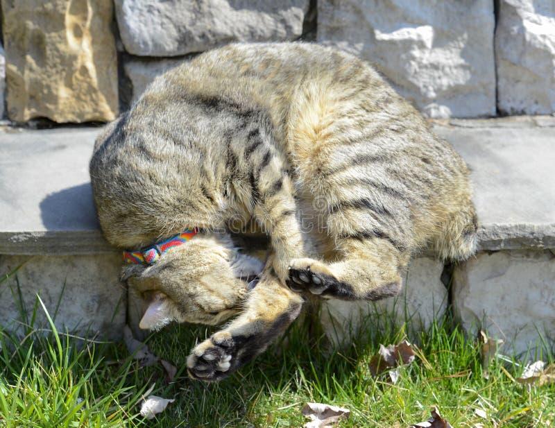 Hooglandlynx Cat Sleeping op Portiekstappen royalty-vrije stock afbeeldingen