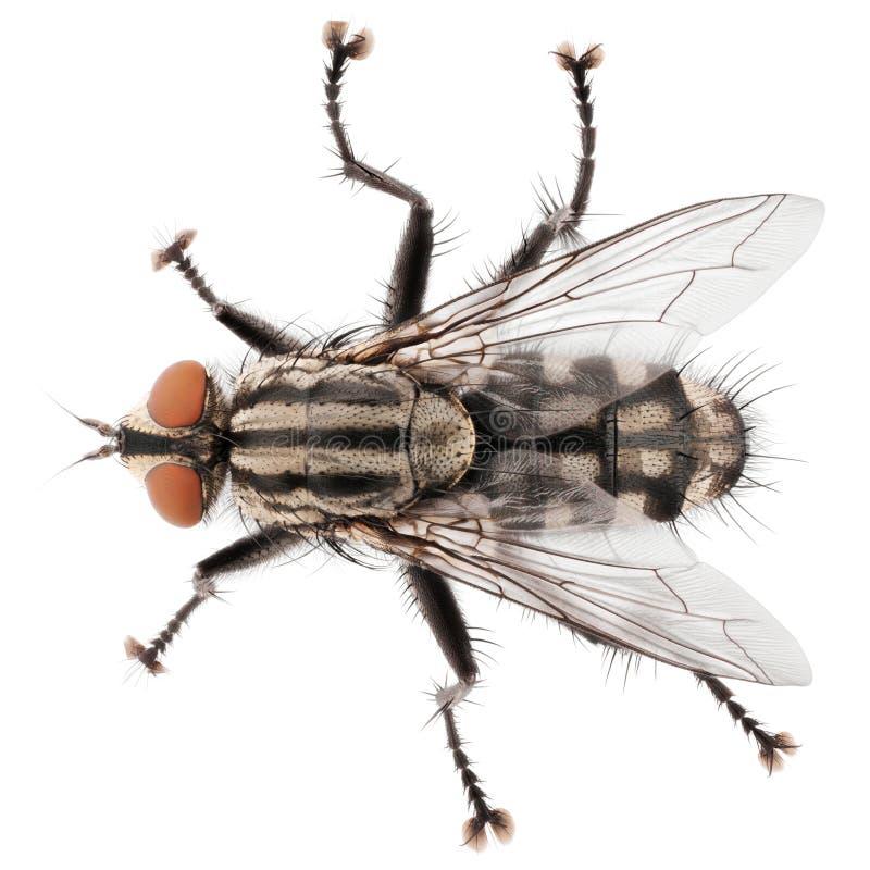 Hoogste die mening van huisvlieg op witte achtergrond wordt geïsoleerd royalty-vrije stock fotografie
