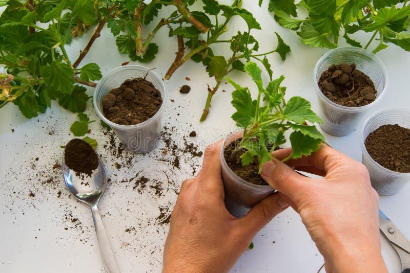 Hoogste mening die van vrouwenhand de geraniumknipsels in de plastic koppen wortel schieten stock afbeeldingen