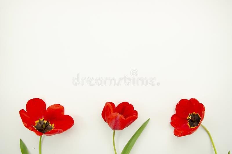 Hoogste mening drie rode die Papaverbloemen op witte achtergrond worden geïsoleerd Bloesemknoppen Exemplaarruimte voor groetkaart stock foto's