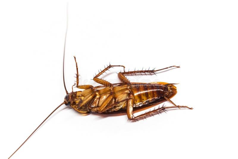 Hoogste mening een dode kakkerlak op wit stock fotografie