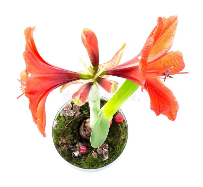 Hoogste mening van amaryllis in bloempot stock afbeeldingen