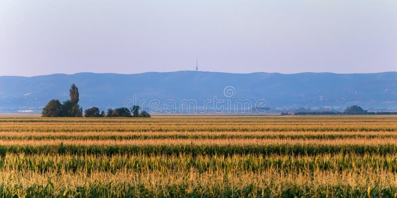 Hoogste mening van cornfield in Servië, op beboste berg als achtergrond & nationaal Ka Gora van parkfruå ¡ royalty-vrije stock foto's