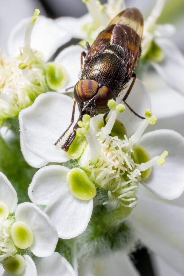 Hoogste mening van een bloemvlieg stock afbeelding