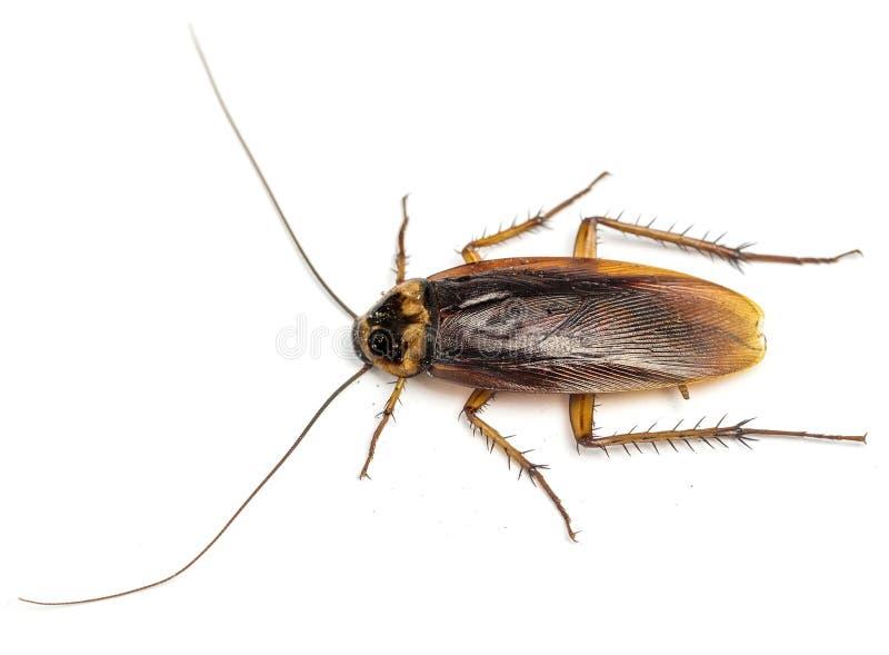 Hoogste mening van een dode die kakkerlak op witte achtergrond wordt geïsoleerd stock afbeelding