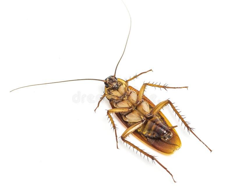 Hoogste mening van een dode die kakkerlak op witte achtergrond wordt geïsoleerd stock fotografie