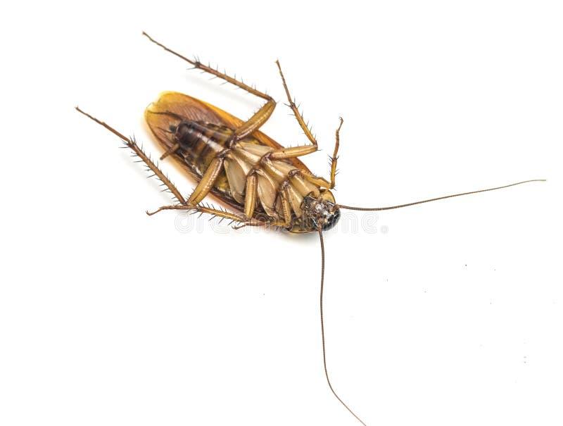 Hoogste mening van een dode die kakkerlak op witte achtergrond wordt geïsoleerd royalty-vrije stock foto