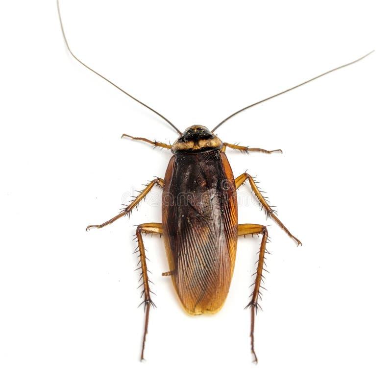 Hoogste mening van een dode die kakkerlak op witte achtergrond wordt geïsoleerd royalty-vrije stock fotografie