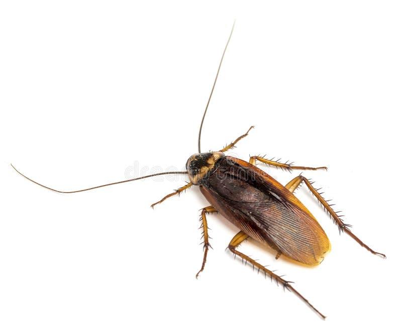 Hoogste mening van een dode die kakkerlak op witte achtergrond wordt geïsoleerd royalty-vrije stock afbeelding