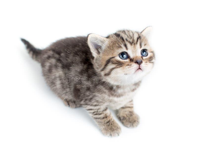 Hoogste mening van het katje van de babykat op wit stock fotografie