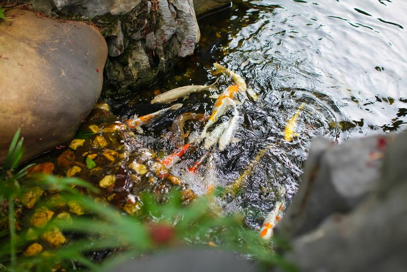Hoogste mening van Koi Carp Fishes in kunstmatig pond met kleine waterval en stenen in tuin van Chinese tempel royalty-vrije stock foto's