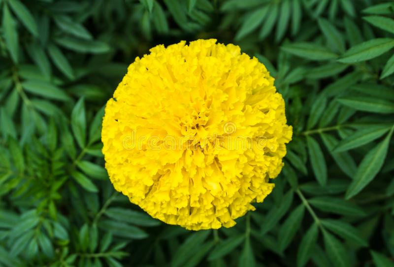 Hoogste mening van mooi goudsbloembloemen en blad royalty-vrije stock afbeeldingen