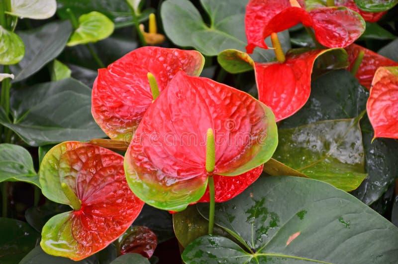 Hoogste mening van rode flamingobloemen in de tuin stock afbeeldingen