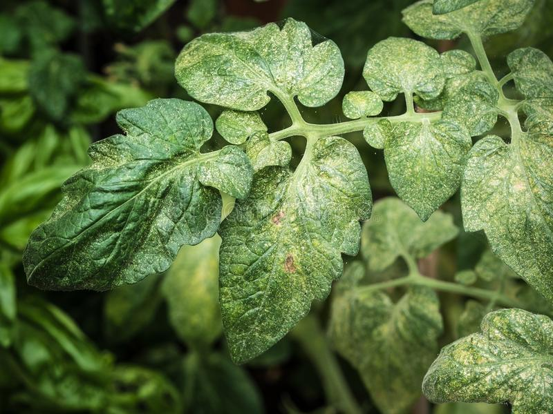 Hoogste mening van spinmijten die op tomatenblad zuigen royalty-vrije stock foto's