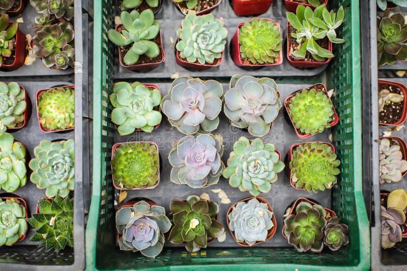 Hoogste mening van vele verschillende verscheidenheid en kleurrijke jonge succulente installaties in kleine potten voor verkoop i stock foto's