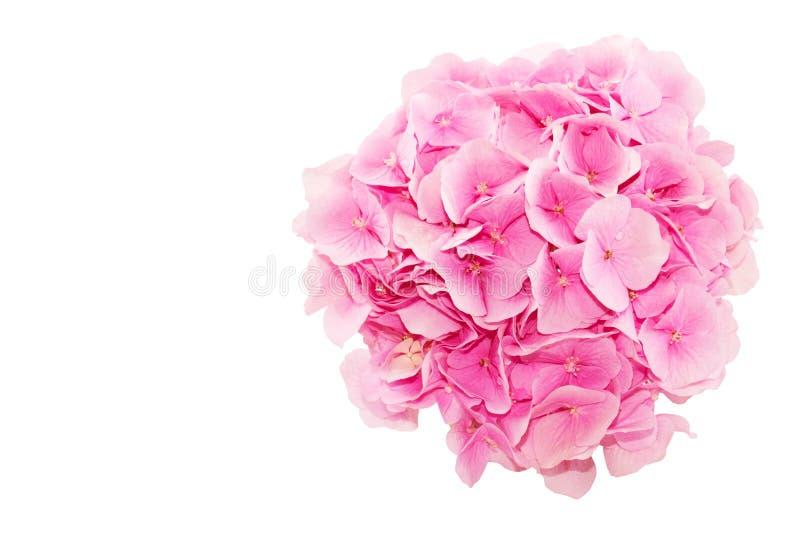 hoogste mening van verse die hydrangea hortensiabloem op witte achtergrond wordt geïsoleerd stock afbeelding