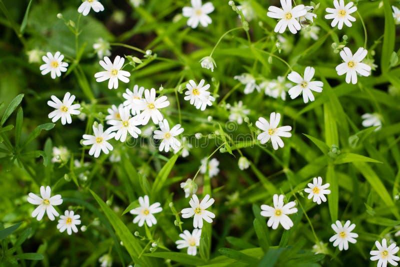 Hoogste mening van witte wilde bloemen en groen gras stock fotografie