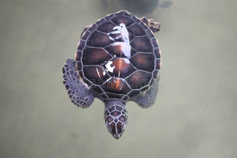 Hoogste mening van zwemmende Jonge kleine groene zeeschildpad in zeewater Leuke zeeschildpadclose-up Mariene species op wilde aar stock foto