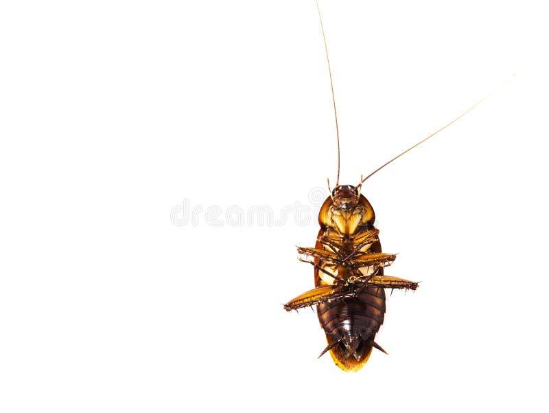 Hoogste menings dode die kakkerlak op witte achtergrond wordt geïsoleerd royalty-vrije stock fotografie