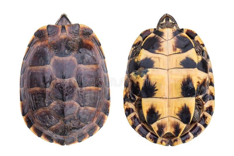 Hoogste menings kleine schildpad beide die kant op wit wordt geïsoleerd royalty-vrije stock foto's