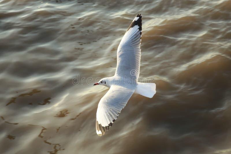 Hoogste menings vliegende zeemeeuwen in oceaan stock afbeeldingen