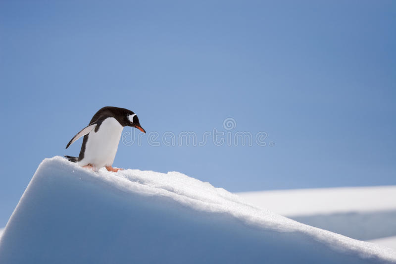 Hoogste pinguïn