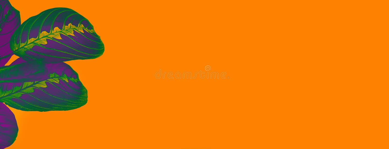 Hoogste ultraviolette van meningscalathea kleurrijke purple gaat weg als tropische installatie op heldere oranje kleur gekleurde  royalty-vrije stock afbeelding
