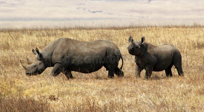 Hook-lipped (Black) Rhino, Ngorongoro Crater game royalty free stock image