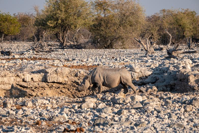 Hook-Lipped Rhino at Waterhole in Etosha National Parl. Black, Hook-Lipped Rhino or Rhinoceros at Waterhole in Etosha National Park, Namibia. Africa stock photo