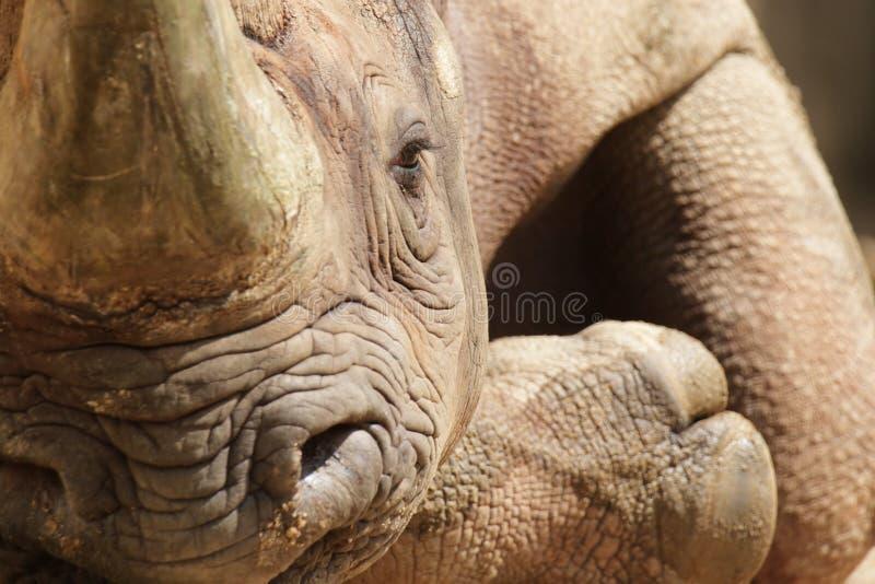 Hook-lipped Rhinoceros (Diceros bicornis). Close up of a Hook-lipped Rhinoceros (Diceros bicornis) relaxing on the ground royalty free stock photos