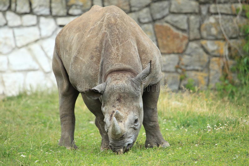 Hook-lipped rhinoceros. In the grass stock image